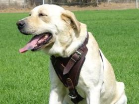 Protection Dog Harness for Labrador, Leather