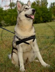 Leather Harness with Padded Chest Strap for Malamute