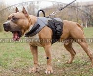 Amstaff Dog harness for cold weather