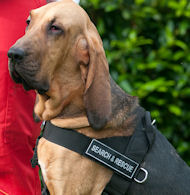 New nylon dog harness - Better control of your Bloodhound