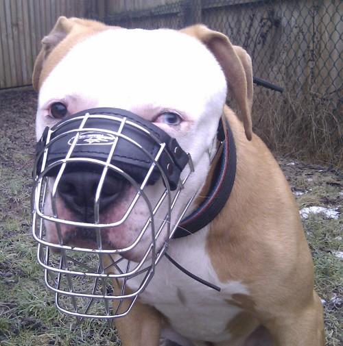 Drahtmaulkorb Bulldogge