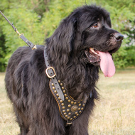 Studded Harness for Newfoundland | Luxe Dog Harness