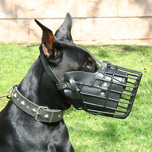 Doberman Pinscher with K9 Dog Muzzle Combined