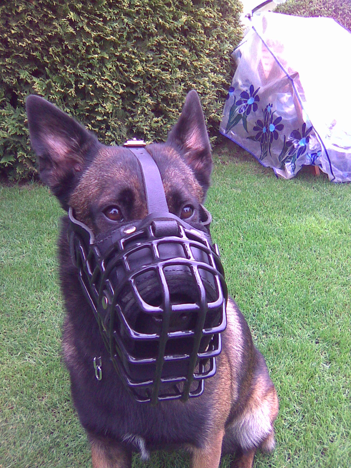 Protection Work Dog Muzzle for Malinois