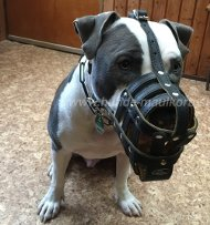 Muzzle for American Staffordshire Dog. Luxury Leather