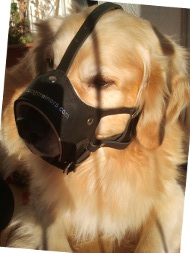 Leather Muzzle for Golden Retriever | Open Dog Muzzle