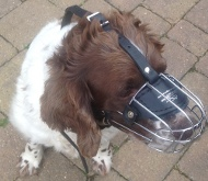 Springer Spaniel Muzzle of Wire, Good Form