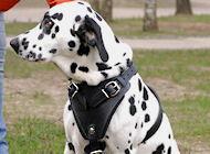Hundegeschirr aus Leder für Dalmatian