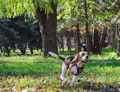 /images/harnesses/Beagle-mit-Geschirr-small.jpg