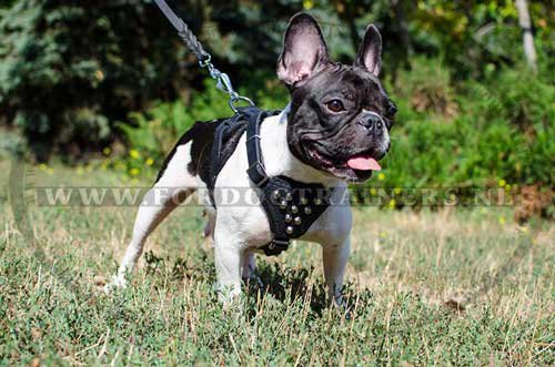 French Bulldog leather harness H24