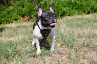 Leather dog harness with pyramids for French Bulldog