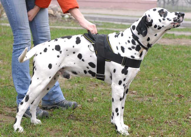 /images/large/Dalmatian-nylon-dog-harness-uk_LRG.jpg