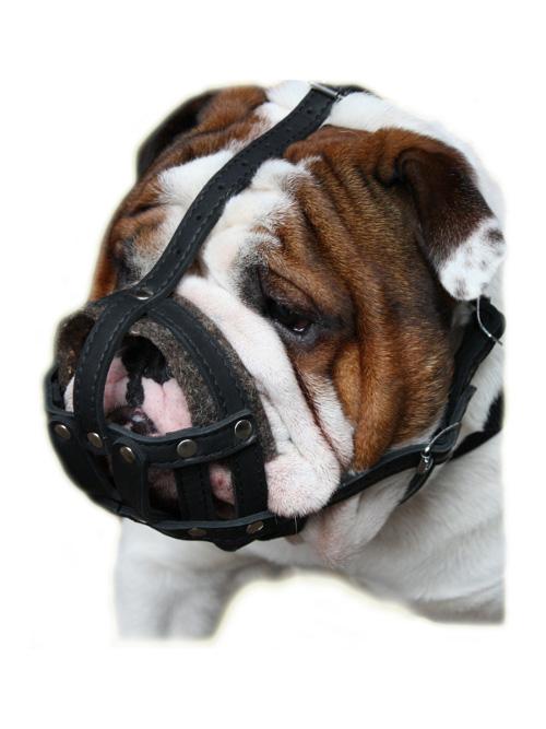 Englische Bulldogge Maulkorb