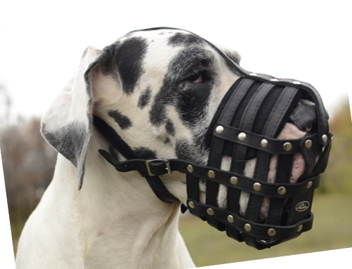Dog s muzzle Great Dane