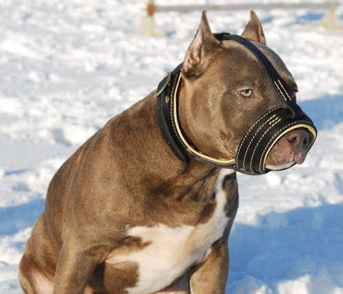 leather muzzle for pitbull