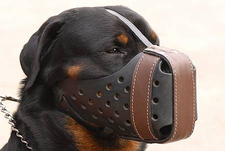 Rottweiler in Leather Working Muzzle M55